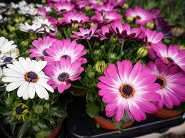 Growing Osteospermum: How To Care For African Daisies